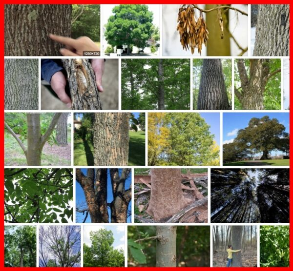 Ash Trees, 21 Species of Ash Trees