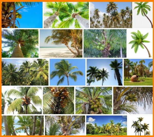 Coconut Trees, How to Plant a Coconut Trees