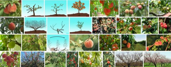 How to prune peach trees, how is pruning of a peach tree having long branches applied?