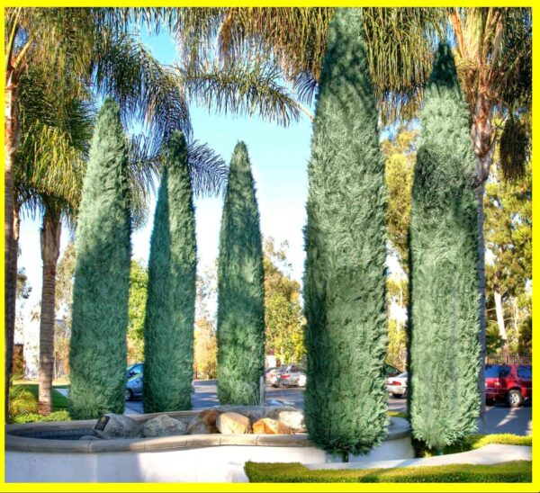 Italian Cypress Trees, Big Discount For Sale **2021