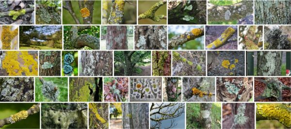 Lichen On Trees, Are lichens harmful to trees?