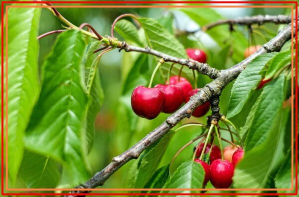Types Of Cherry Trees, 93+ Different Types of Cherry Trees
